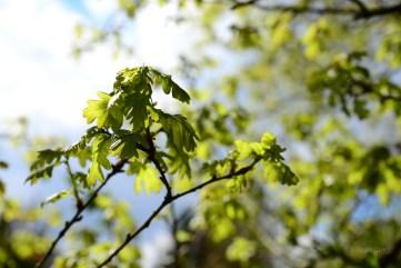 Susan Guy_Stoneywell_Garden_Oak Leaf_01.05.15 (1 w