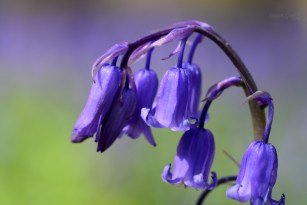 Susan Guy_Calke Abbey_Bluebell_Flower_27.04.16_1 c
