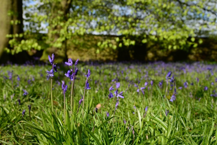 Susan Guy_Calke Abbey_Bluebells_Serpentine Wood_27.04.16_1 c