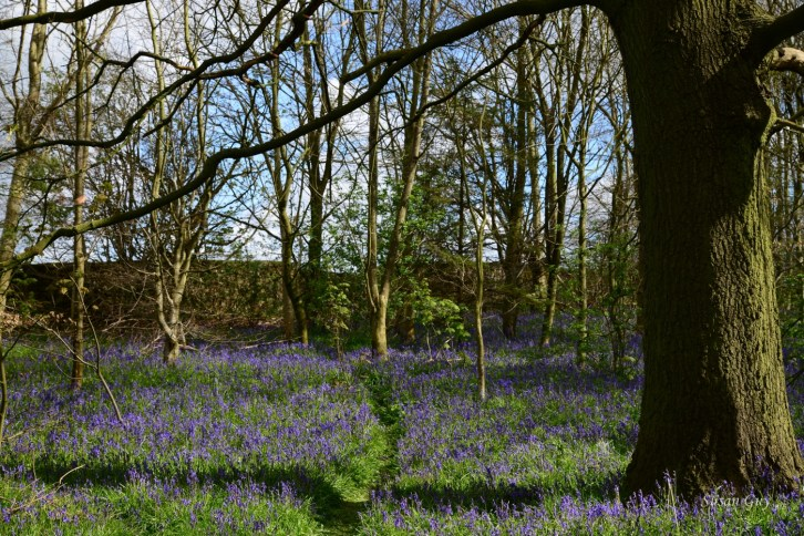 Susan Guy_Calke Abbey_Bluebells_Serpentine Wood_27.04.16_3 c