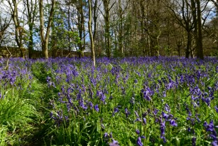 Susan Guy_Calke Abbey_Bluebells_Serpentine Wood_27.04.16_4 c