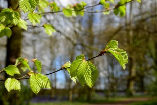 Susan Guy_Calke Abbey_Spring Beech_Serpentine Wood_27.04.16_1 c