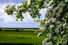Susan Guy_Lyveden_Garden_Hawthorn_17.05.16_3 c