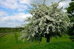 Susan Guy_Lyveden_Garden_Hawthorn_17.05.16_4 c