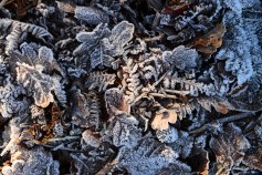 susan-guy_beacon-hill_frost-leaves_2-c