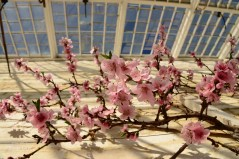 Susan Guy_Calke Abbey_Peach house_Blossom_09.03.17_6 c