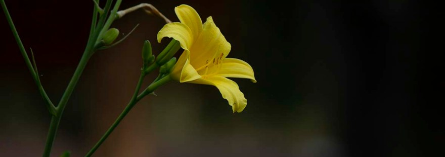 Yellow miniature daylily
