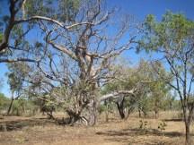 Big baobab tree near Mt Hart