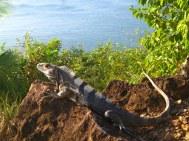 Zwarte leguaan (Ctenosaura similis)