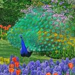 peacock luck