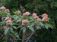 Frangipani tree