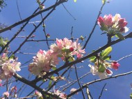 flowering-prunus