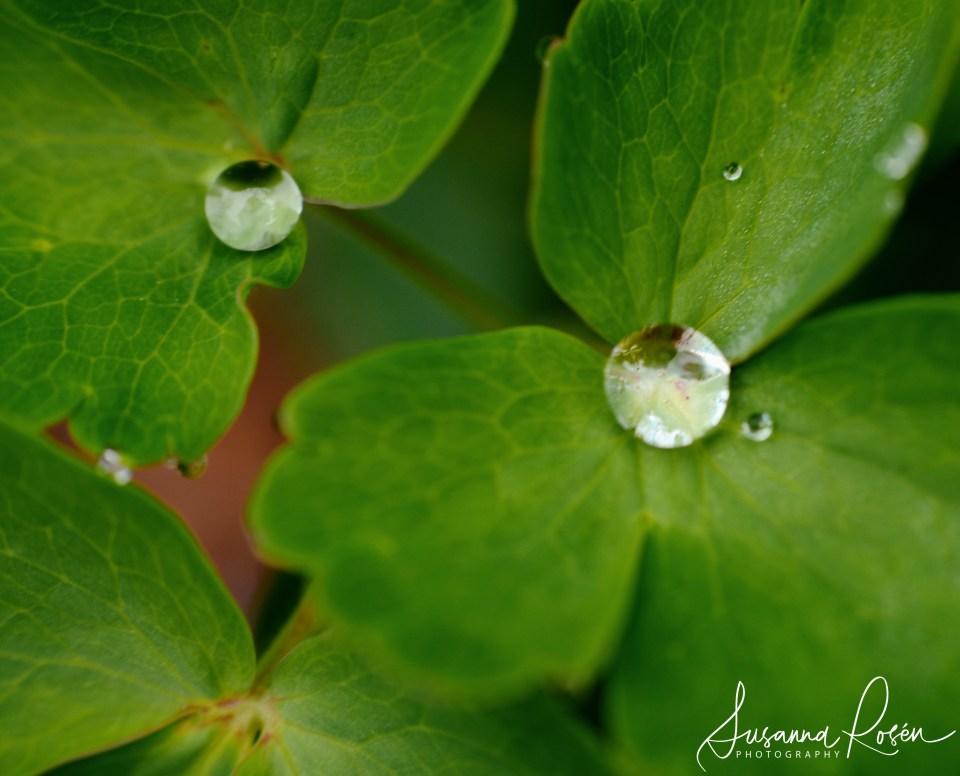 diamonds or dew