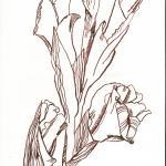 Gladiolenzweig - Zeichnung von Susanne Haun - 30 x 20cm - Tusche auf Bütten