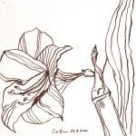 Amaryllis I - Zeichnung von Susanne Haun - 20 x 20 cm - Tusche auf Bütten