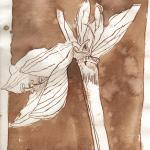Amaryllis - Zeichnung von Susanne Haun - 20 x 15 cm - Tusche auf Bütten
