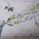 Lindenblüten - Zeichnung von Susanne Haun - 30 x 20 cm - Tusche und Aquarell auf Bütten