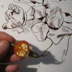Aufgeschnittene Hagebutten und Zeichnung von Susanne Haun