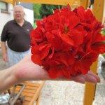 So groß wie Riesenbälle sind die Blüten - Foto von Susanne Haun