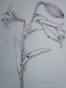 Lilie - Zeichnung von Susanne Haun - Tusche auf Bütten - 60 x 50 cm