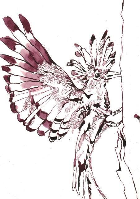 Wiedehopf - Zeichnung von Susanne Haun - 33 x 24 cm - Tusche auf Bütten