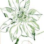 Passionsblume 3 - Zeichnung von Susanne Haun - Tusche auf Bütten - 17 x 22 cm