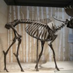 Elchskelett im Neuen Museum in Berlin - Foto von Susanne Haun