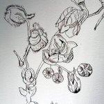 Ausschnitt Ithas Insel Rittersporn - Zeichnung von Susanne Haun