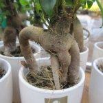 Im Baumarkt gibt es viele Interessante Baumartige Gewächse - hier ein Ficus - Foto von Susanne Haun