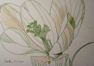 Krokus - Zeichnung von Susanne Haun - 17 x 22 cm - Tusche auf Bütten