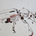 Entstehung Käfer - Zeichnung von Susanne Haun - 15 x 30 cm - Tusche auf Bütten