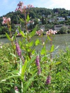 Am Neckar in Heidelberg - Foto von Susanne Haun