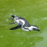 Pinguin im Außengehege Berliner Zoo - Foto von Susanne Haun