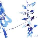 Blauregen, 17 x 13 cm, Tusche auf Bütten (c) Zeichnung von Susanne Haun (4)