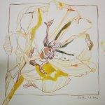Tulpe, 30 x 30 cm (c) Zeichnung von Susanne Haun