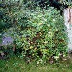 Dieser Strauch gefällt mir, er steht vor dem Haus (c) Foto von Susanne Haun