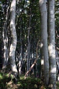 Oben auf den Kreidefelsen sind die Bäume wettergegerbt (c) Foto von Susanne Haun