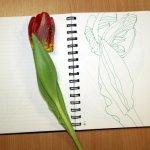 Papageientulpe Blatt1 (c) Zeichnung von Susanne Haun