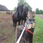 Motiv Pferde in der Uckermark (c) Foto von Susanne Haun