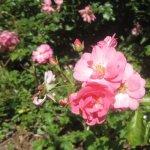 Rosen vor meinem Atelier (c) Foto von Susanne Haun