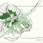 Tulpen Version 1 - 24 x 17 cm (c) Zeichnung von Susanne Haun