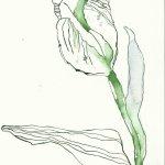 Tulpen Version 2 - 24 x 17 cm (c) Zeichnung von Susanne Haun