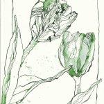 Tulpen Version 3 - 24 x 17 cm (c) Zeichnung von Susanne Haun