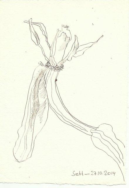Verwelkte Tulpe (c) Zeichnung von Susanne Haun