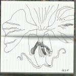 Orchidee (c) Zeichnung von Susanne Haun