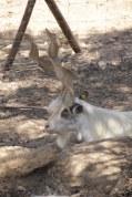 Parco valle dei Templi agrigento - Ziegen mit besonderen Höhrnern (c) Foto von Susanne Haun