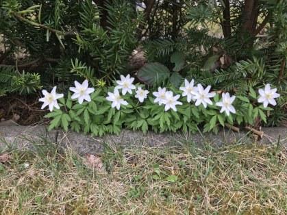 Edelweiss oder Anemone (c) Foto von Susanne Haun