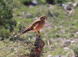 Vogel im Etosha Nationalpark (c) Foto von Susanne Haun