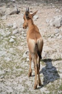 Antilope im Etosha Nationalpark (c) Foto von M.Fanke