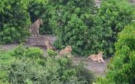 Unsere einzigen Löwen in Afrika (c) Foto von M.Fanke
